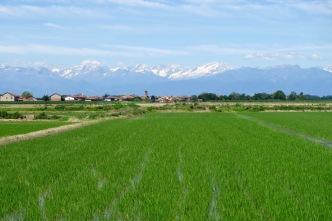 Rijstvelden en op de achtergrond: besneeuwde Alpen